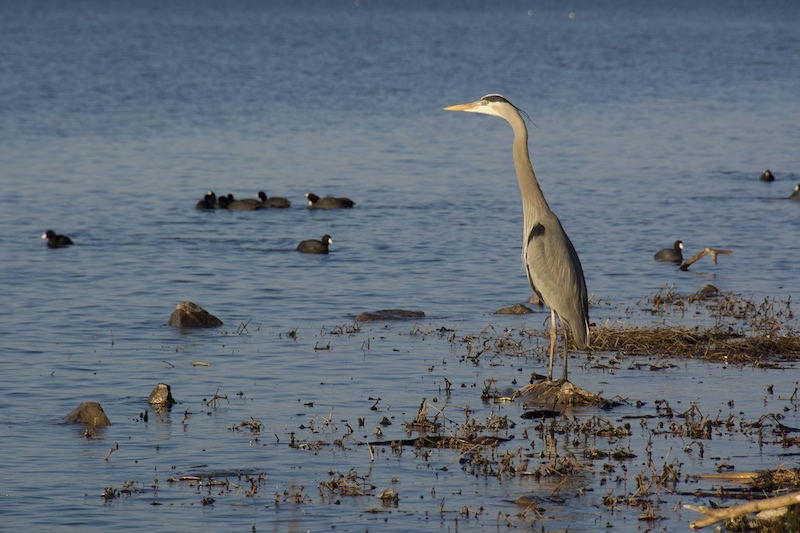 Heron on Lake Guntersville
